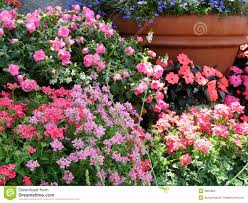 Flower Pots - lobelia stock photos images u0026 pictures 681 images