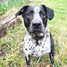 short haired dorkie mixes lieben the german shorthaired pointer mix by riss violante pack