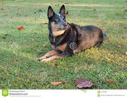 australian shepherd blue heeler blue heeler australian cattle dog watching stock photo image