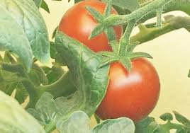 grow a tomato plant indoors easy how to tutorial youtube