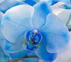 blue orchid flower blue mystique orchids beautiful flower pictures