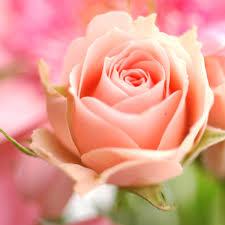 color roses roses roses roses roses roses beautiful flowers