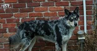 incrocio border collie x australian shepherd ausky australian cattle dog siberian husky hibryd dog cani