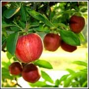 buy cheap fruit trees 50 at ty ty nursery