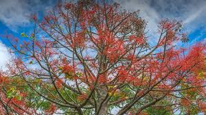 australian flame tree san diego zoo animals u0026 plants