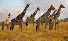 imagenes de amistad jirafas por qué tienen el cuello largo las jirafas en clave de niños