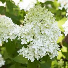 hydrangeas flowers growing limelight hydrangeas on sutton place