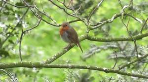 robin bird singing in perched in woodland tree with
