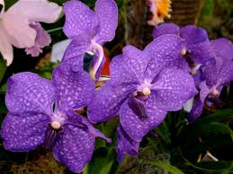 purple orchids purple orchids types orchid flowers