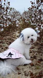 poodle x bichon frise 198 best bishon frise emmy u0027s friends images on pinterest