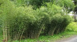 bambou feng shui warm bamboo gardens brick nj tsrieb com