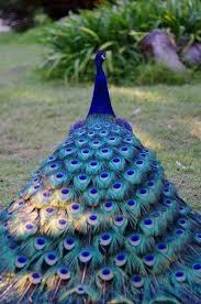 109 best peacocks art u0026 coloring images on pinterest coloring