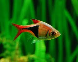 364 best freshwater tropical fish images on tropical