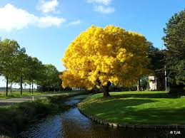 panoramio photo of it sure is the most beautiful tree just
