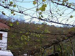 Grape Vine Pergola by Grapevines On Pergolas Arbours Carports