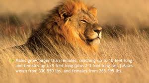 african lion by jayden how does your animal look my animal