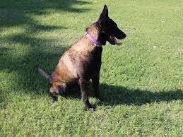 belgian sheepdog price micheal ferguson belgian malinois puppies for sale