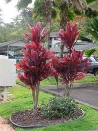 ti plant hawaiian plants by name and picture common name hawaiian ti