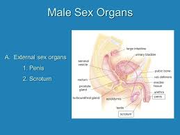 Male And Female Anatomy Human Reproductive System Male And Female Anatomy And Physiology
