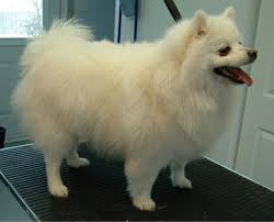 american eskimo dog vs keeshond the miniature american eskimo dog demands much less physical