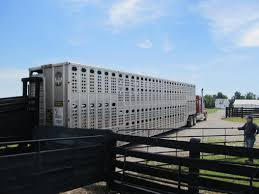 reducing shipping fever in beef calves drovers