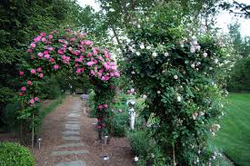 the pink roses on the rose arbor are u0027zephirine drouhin u0027 the rose