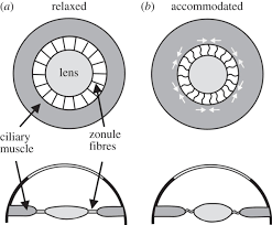 What Structure Of The Eye Focuses Light On The Retina Anniversary Paper On Young 1801 Philosophical Transactions Of