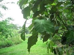 pterospermum acerifolium dinner plate tree