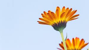 Calendula Flowers Free Photo Calendula Calendula Flower Free Image On Pixabay