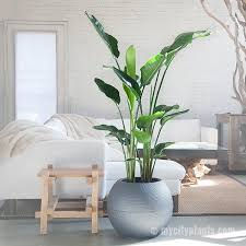 bird of paradise plant delivery shop my city plants