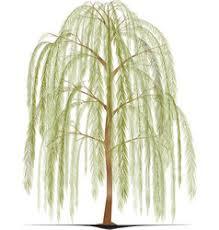 weeping willow tree royalty free vector image vectorstock