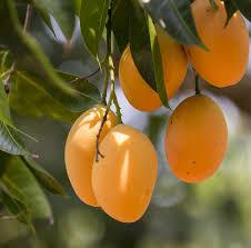King Of Fruits U2013 History Of Mango Pitara Kids Network
