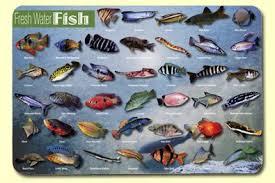 freshwater aquarium fish beginners freshwater aquarium fish