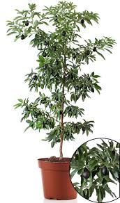 cold hardy avocado trees cold hardy avocado trees for sale