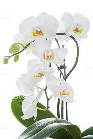 White Orchid Flower White Orchid Flower With Leaves Stock Photo 647228156 Istock