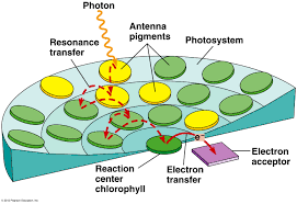 100 pdf photosynthesis pearson education answers sulli