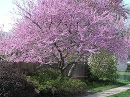 file redbud tree panoramio jpg wikimedia commons