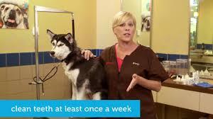 how to brush your dog u0027s teeth pet supplies pet food and pet