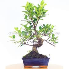 ficus microcarpa mini bonsai 15cm s shape bonsai trees ficus