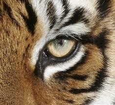 tiger eye wetcanvas