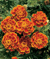 marigold queen sophia to avoid many common pests plant marigolds
