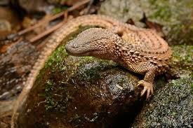 Seeking Lizard Cast Herp Queries With Bill The Earless Monitor