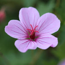 buy cranesbill geranium u0027light dilys u0027 delivery by crocus