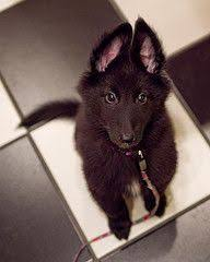 belgian sheepdog intelligence belgian shepherd dog gronendael groenendaeler pinterest