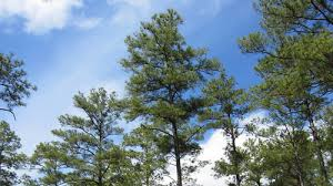 loblolly pine tree seedlings for sale