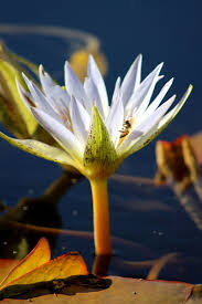 native plant society of texas day trips international waterlily collection san angelo texas