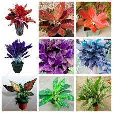 200 pc beautiful mosaic plants aglaonema seeds perennial flower