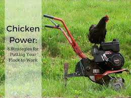 chicken manure vegetable garden chicken power 8 strategies for putting your flock to work