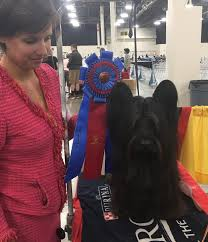what is the dog show on thanksgiving detroit kennel club dog shows home facebook