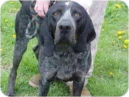 bluetick coonhound exercise joplin adopted dog cincinnati oh bluetick coonhound great